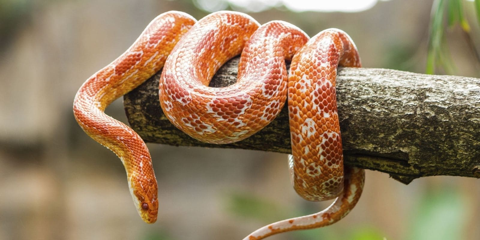 Orange and white snake on a tree branch