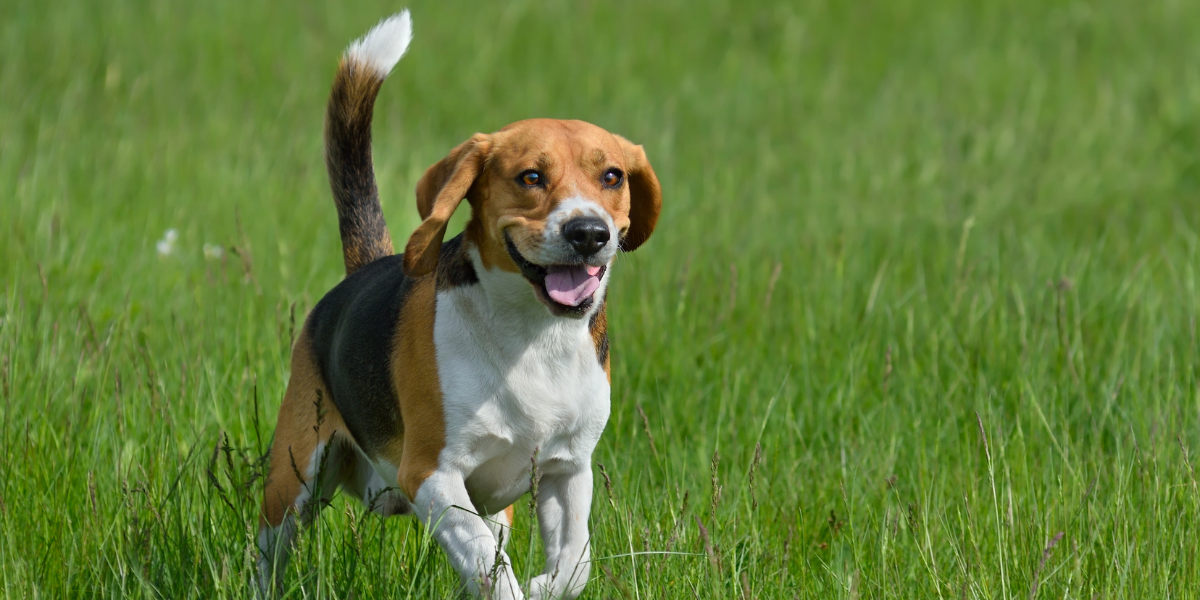 Beagles are common dogs found in rescue and animal shelters