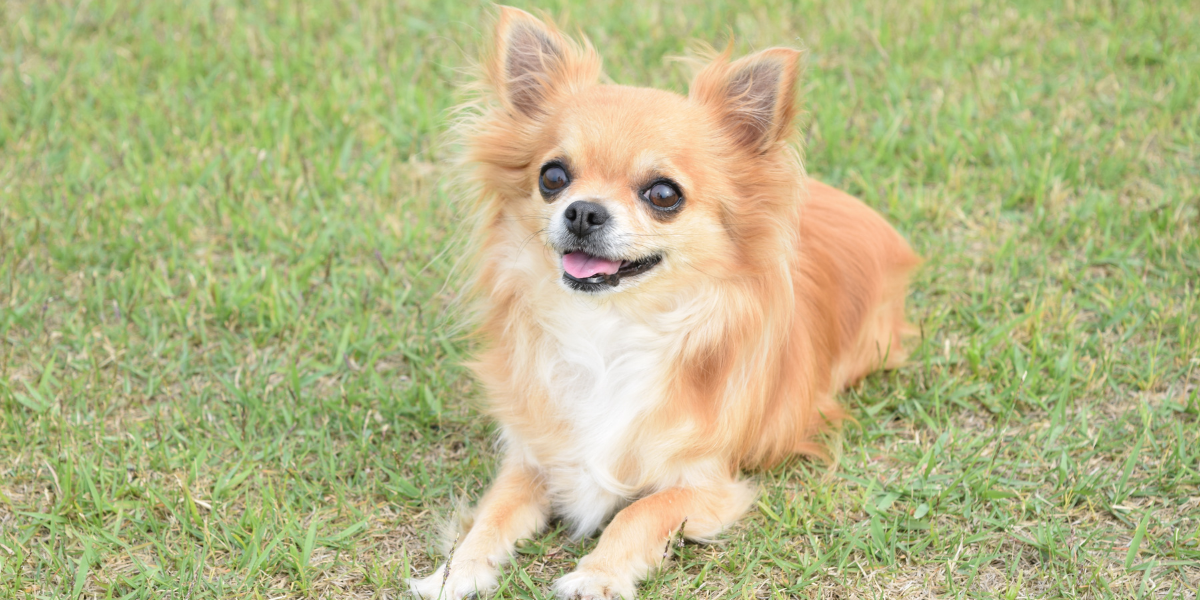 Chihuahuas are common dogs found in rescue and animal shelters