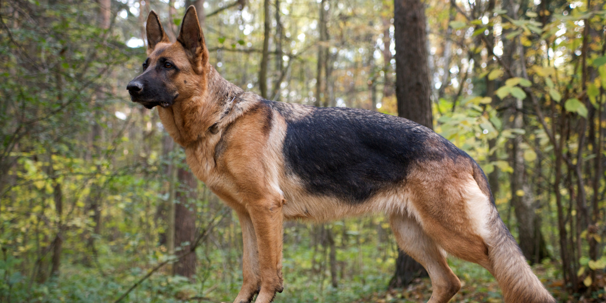 German Shepherds are common dogs found in rescue and animal shelters