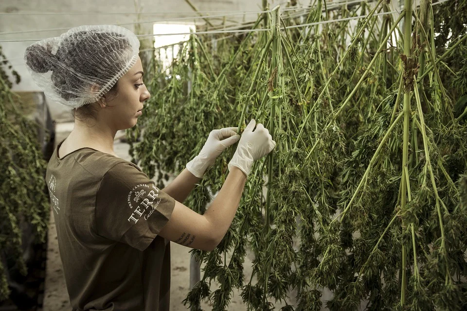 How is CBD actually made?