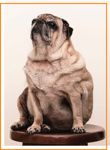 Common Dog Health Issues - Obesity