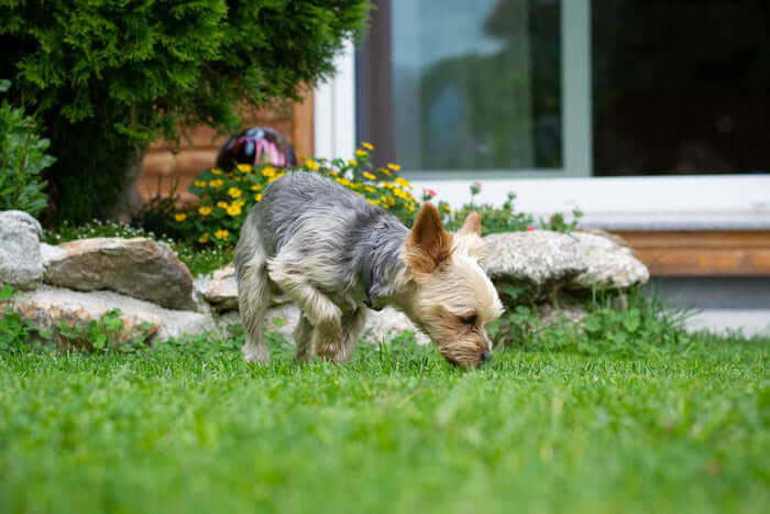Yorkshire terrier sniffing grass