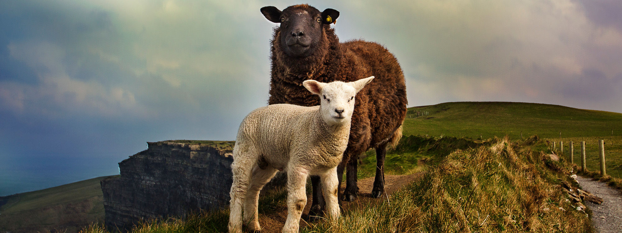 Conscious Living Organic Wool used for bedding and pillows