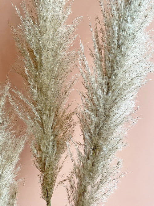 Fluffy beige natural pampas  grass by Calabasas close up