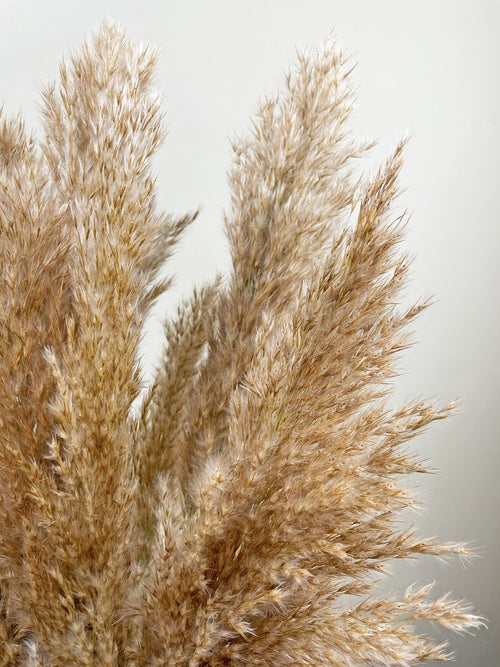 Fluffy brown pampas grass close up by Calabasas