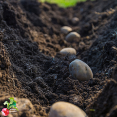 potato seeds in trench