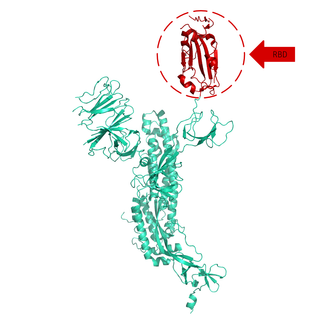 Structural model of Spike S1 Protein (RBD), GFP/His-Tag