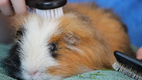 guinea pig being brushed