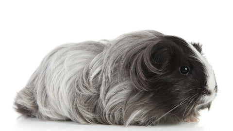 grey guinea pig with long hair on white background
