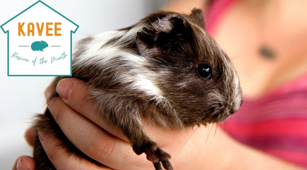Rescue of the month program awarding guinea pig shelters kavee