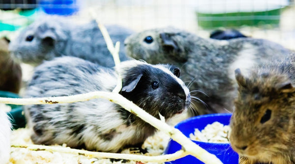 guinea pigs at local rescues and shelters due to covide 19 pandemic