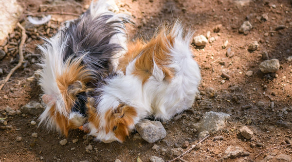 guinea pig rescue of the month kavee blog usa