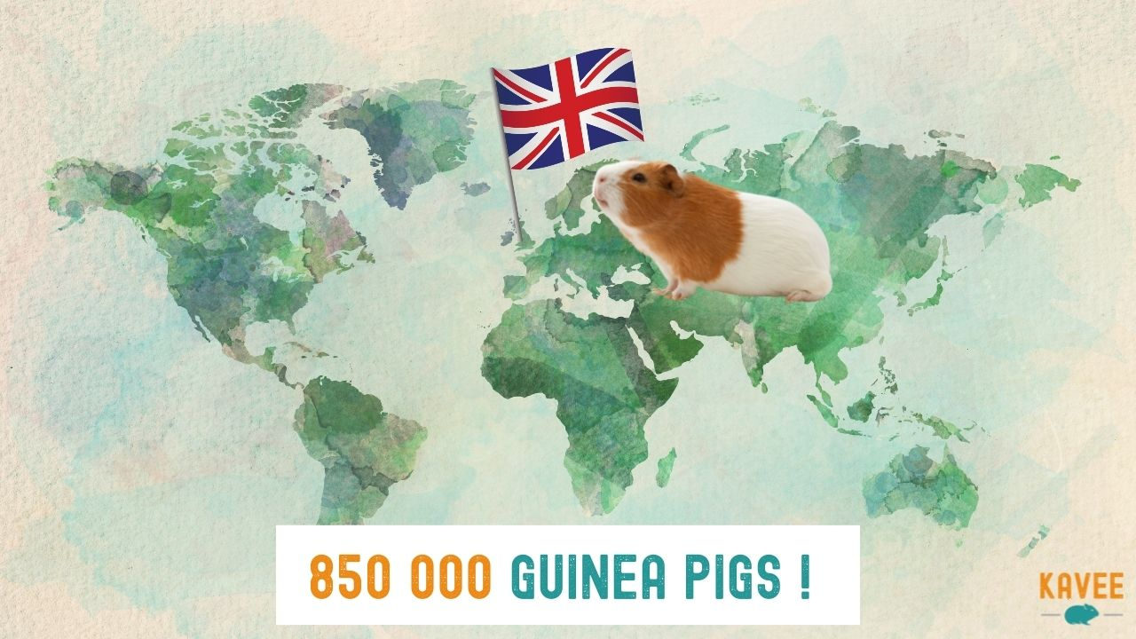 how many guinea pigs are there in the UK calculation of British households with a guinea pig sitting on a map