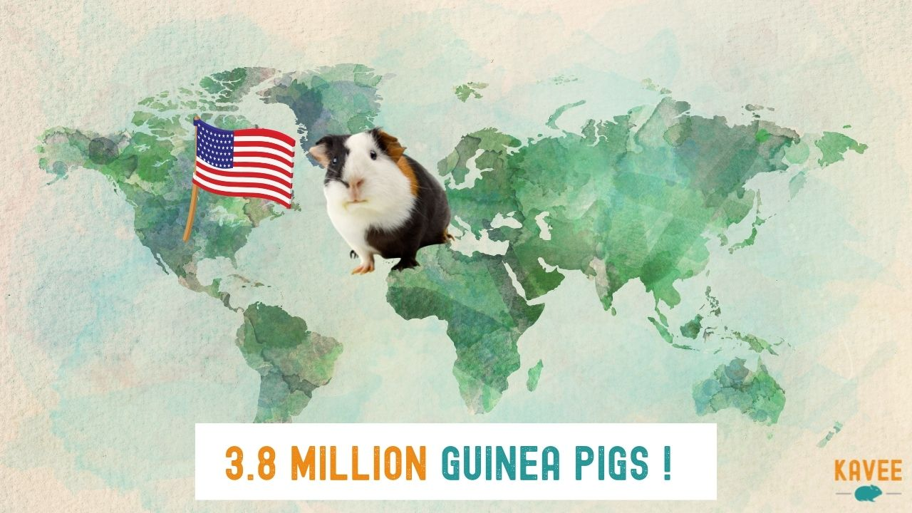 how many guinea pigs are in the USA calculation with a guinea pig sitting on a map with an American flag