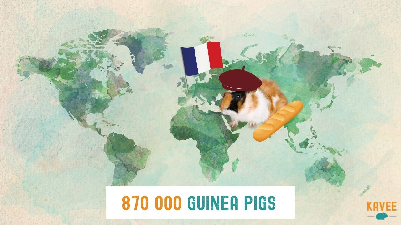 the number of guinea pigs living in France with a guinea pig on a world map next to a French flag