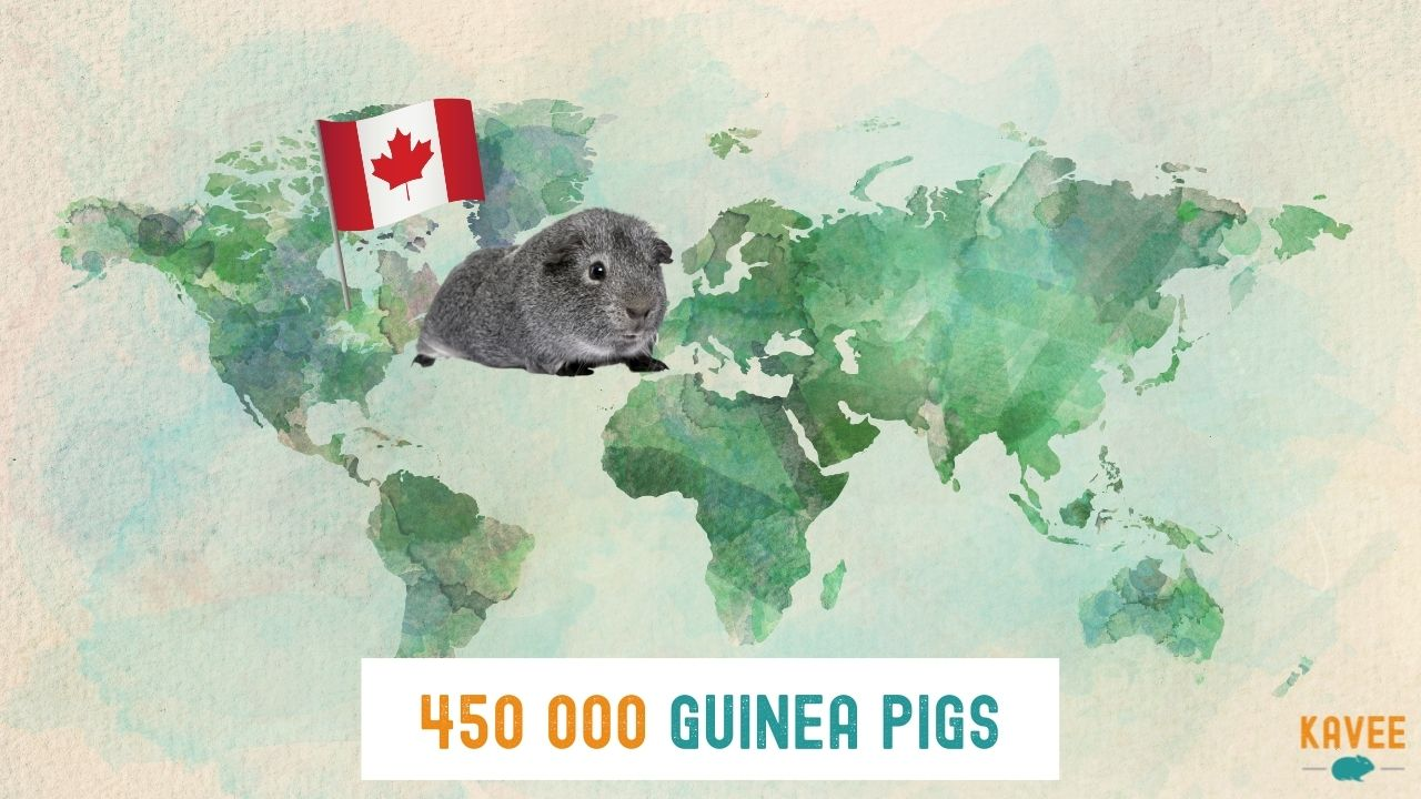 calculation of how many guinea pigs are living in canada with a guinea pig sitting on a world map with a canadian flag