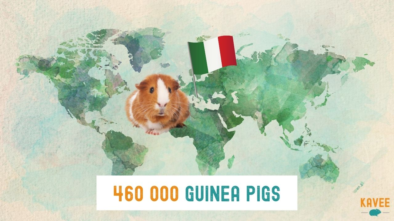 How many guinea pigs are currently living in Italy calculations with a guinea pig sitting on a world map with an Italian flag