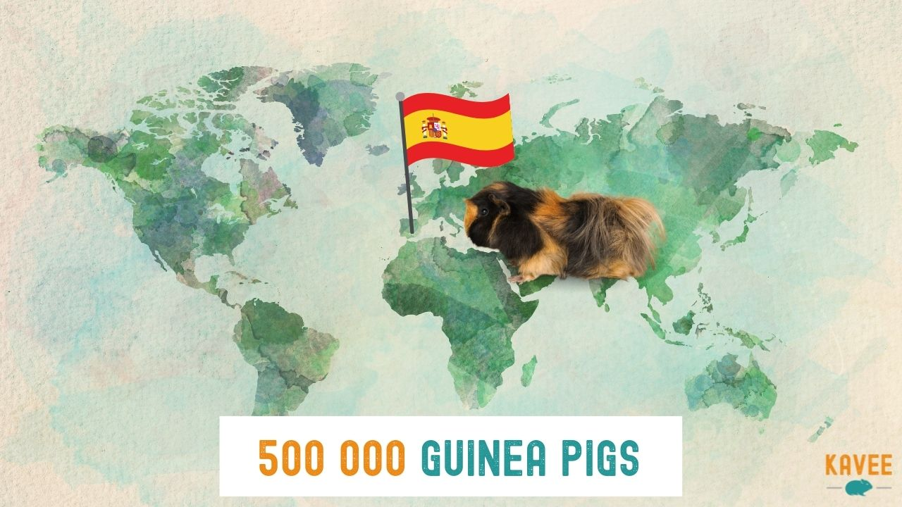 calculation of the number of guinea pigs living in Spain with a guinea pig sat on a world map and with a Spanish flag