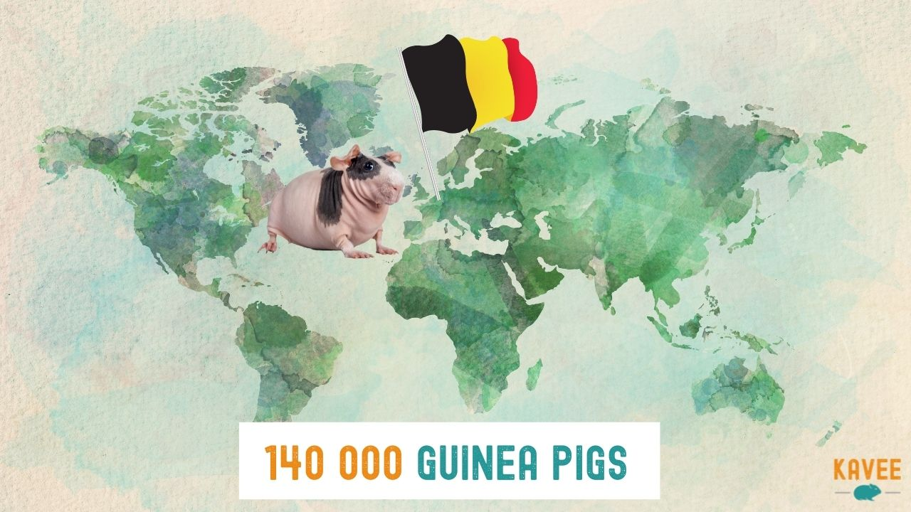 the number of guinea pigs currently in Belgium calculation with a skinny pig pig on a world map with a Belgian flag