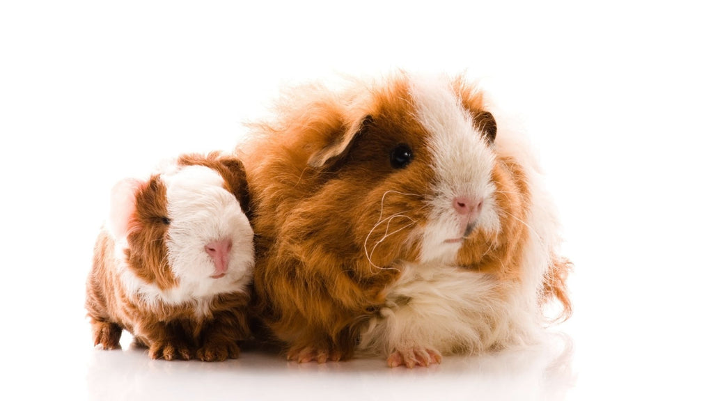 why should you weigh your guinea pig curly haired adult guinea pig with curly haired baby guinea pig on white background