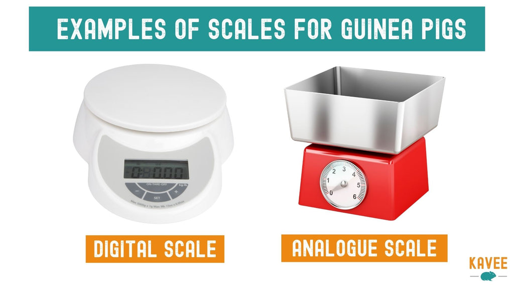 How to weigh guinea pigs examples of digital scale or mechanical scale to weigh guinea pigs to track health