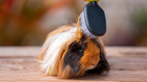 long hair guinea pig being brushed with a brush kavee