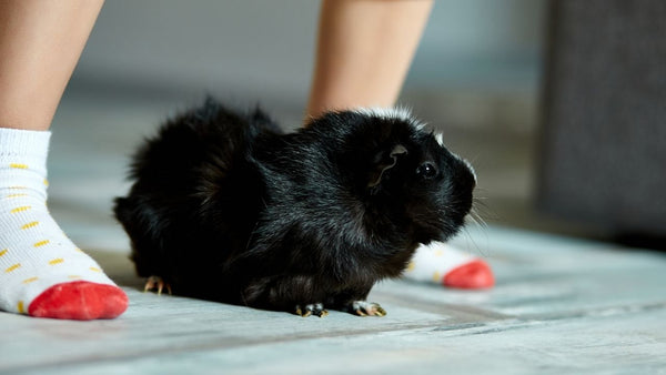 child standing above black guinea pigs teaching children how to play nice with small pets
