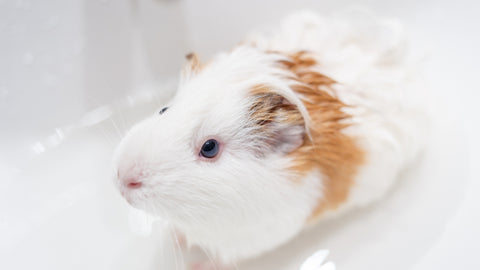 white and brown guinea pig taking a bath