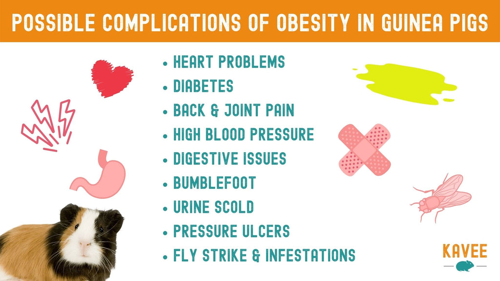 Help, my guinea pig is too fat! What should I do about it? complications of weight gain for guinea pigs quick reference chart
