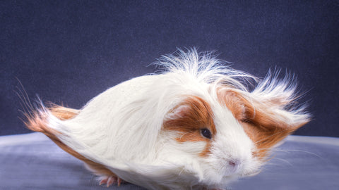 guinea pig long hair with a fan