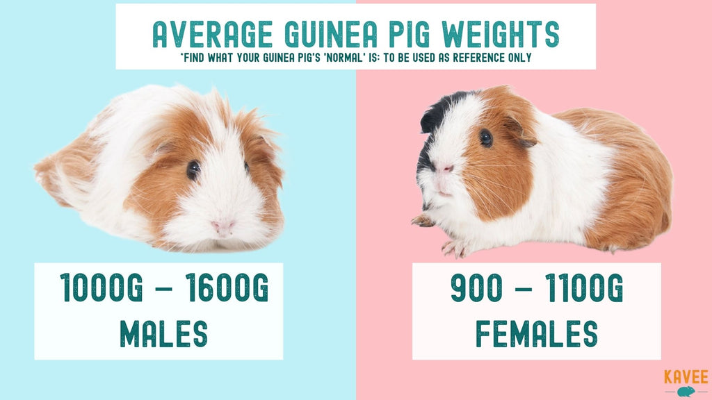 how much should my guinea pig weigh? guinea pig weight comparison averages for male and female guinea pigs