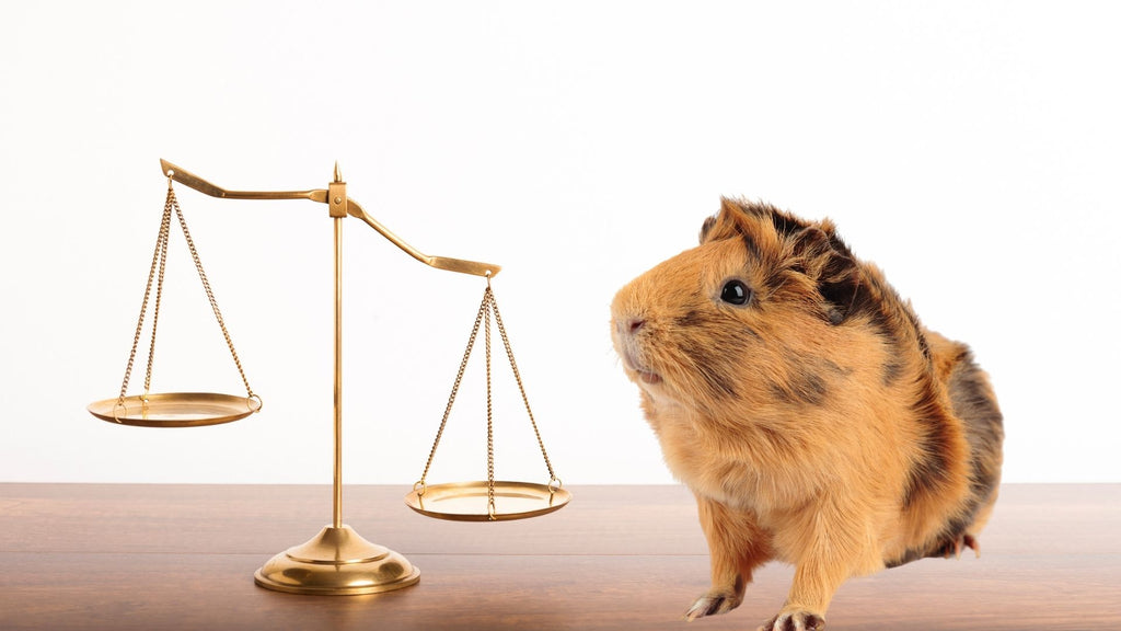 why is it important to weigh your guinea pig sitting next to gold scales