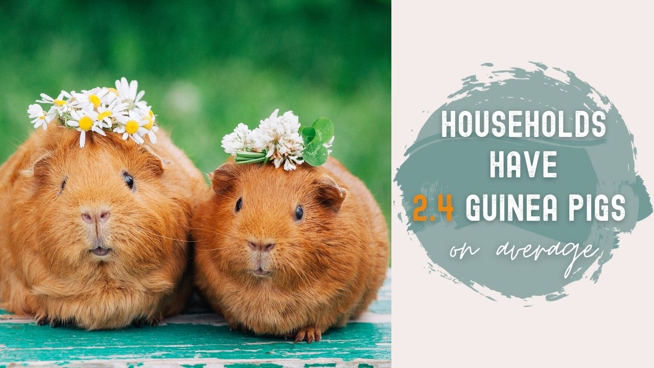 how many guinea pigs are there per household per each country world wide two guinea pigs with flower crowns
