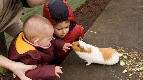 how to introduce guinea pigs and small pets to young children
