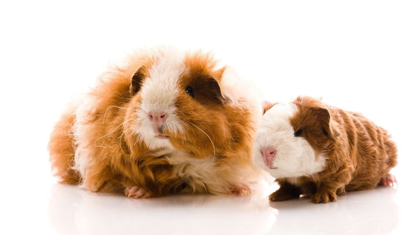 ask your child to help choose a name for your new guinea pigs or small pet