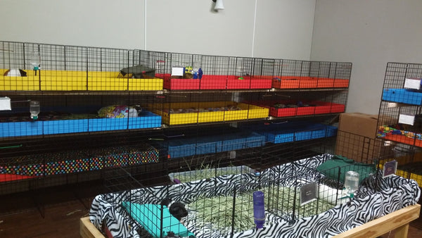 Second chance cavy rescue for guinea pigs usa