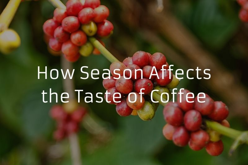 How Season Affects the Taste of Coffee