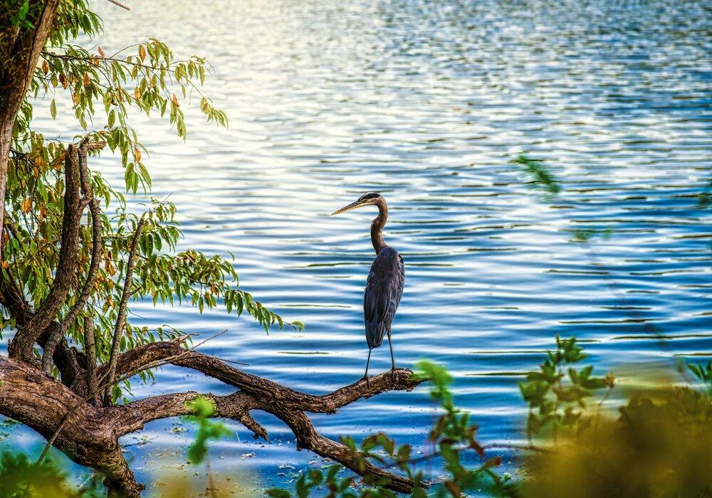 Heron at Lake