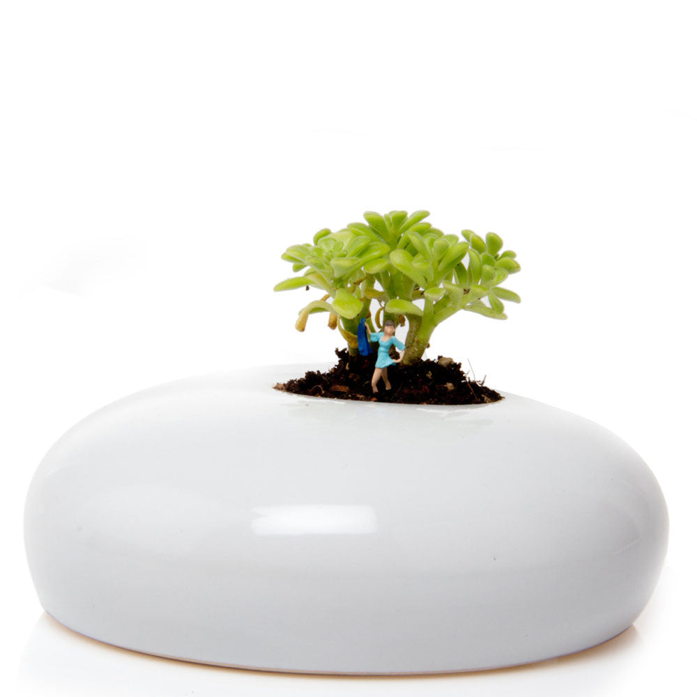 Chive, Button - White low laying succulent terrarium