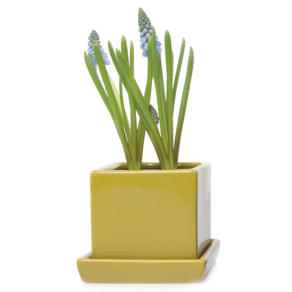Chive, Cube and Saucer - Pea Green Ceramic Planter with saucer
