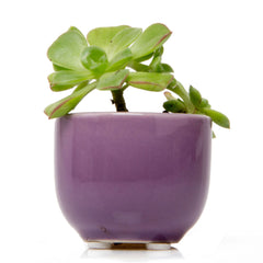 Succulent Cup - Purple