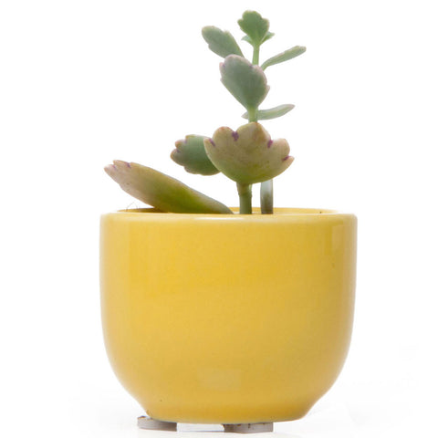 Succulent Cup - Yellow