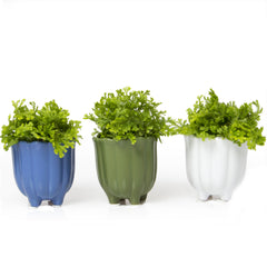 Chive, Tulip Cup - Cornflower Blue, Fern, and White Ceramic Succulent Pot