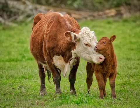 A baby and mother cow