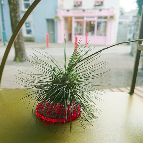one of our many lovely hairy airplants