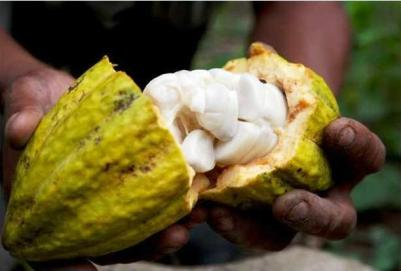 How to Make White Wine out of Cacao Fruit in 7 Steps