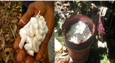 Cacao beans with pulp