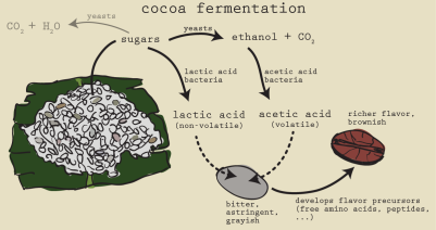 Fermentation of cacao bean into white wine