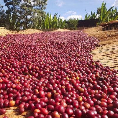 Naturally processed Coffee cherries drying on raised African beds